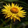 Yellow Daisy (Scottmh) Tags: 2007 australia cranbourne d7100 flora flower gardens native nikon oil painting plant spring yellow fav10 fav20 fav30