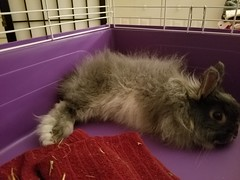 Max a few days after surgery (Pinky Earl) Tags: rabbit bunny buns usagi conejo