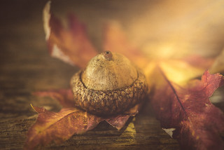 Alone acorn