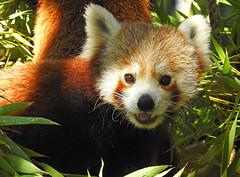Panda-vermelho / Red panda (Ailurus fulgens) (Marina CRibeiro) Tags: portugal lisboa lisbon zoo pandavemelho redpanda mamífero mammal carnívoro ailuridae
