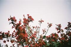 (meilne) Tags: 35mm 35 film filmphotography analog analogue analogphotography analoguephotography canonet canon canonetql17 agfa agfafilm agfa200 agfavista200 flowers