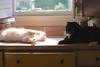 Batman's patient face (rootcrop54) Tags: jimmy orange ginger tabby male cat batman tuxedo kitchen counter shenanigans neko macska kedi 猫 kočka kissa γάτα köttur kucing gatto 고양이 kaķis katė katt katze katzen kot кошка mačka gatos maček kitteh chat ネコ multiple