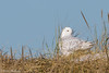 Snowy Owl (Mitch Vanbeekum Photography) Tags: snowyowl canon14teleconvertermkiii canoneos1dx canonef500mmf4lisiiusm nj newjersey mitchvanbeekum mitchvanbeekumcom snowy owl