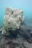 20150418-SCB-other photos-80.jpg (UWC Coral Monitoring) Tags: platygyra diadema lpcuwc seaurchin hoihawan coralmonitoring coralbeach cm hhw lipochununitedworldcollege 海下 海下灣