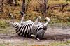 Having a roll (Chalto!) Tags: afrca botswana exploreuk khwaicamp moremigamereserve wildernessdawning wildlife zebra burchellszebra