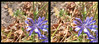 The Lavender Bed 1 - Crosseye 3D (DarkOnus) Tags: pennsylvania buckscounty huawei mate8 cell phone 3d stereogram stereography stereo darkonus closeup macro insect hoverfly hoverflies insecthumpday hump day wednesday sex mating humping coitus coupling hihd ihd lavender bed flower chicory crosseye crossview