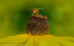 Yellow (lastminutephoto) Tags: larrymammone hover fly daisy macro bee pollen insect flying yellow pollination nature nj