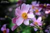 Pink and Yellow (Hi-Fi Fotos) Tags: pink yellow pastel flower flora plant bloom soft petals nature nikkor 40mm nikon d7200 dx hififotos hallewell