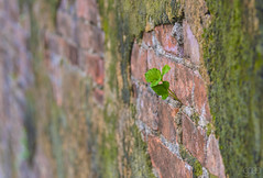 20171103_1276 (lgflickr1) Tags: vietnam citadel old bricks wall mortar plant growth macro zeiss hue milvus deteriorated weathered worn southeastasia asia historic green red moss macrodreams closeup weed newgrowth bokeh angle nikon d750