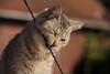 A tough antenna (JLM62380) Tags: tough antenna cat feline félin chat antenne mordre play bite animal pet
