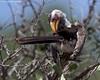 What yer looking at? (leendert3) Tags: leonmolenaar wildlife nature southafrica krugernationalpark birds southernyellowbilledhornbill ngc coth5 npc