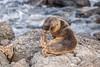 A Umm - Excuse me D85_0884.jpg (Mobile Lynn) Tags: sealion wild marinemammals galapagossealion nature fauna mammal mammals otariidae wildlife zalophuswollebaeki southplazaisland galapagosislands ecuador ec coth specanimal coth5 ngc sunrays5 npc