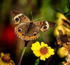 Eye Opener (Portraying Life, LLC) Tags: dbg6 da3004 hd14tc k1 michigan pentax ricoh unitedstates butterfly closecrop handheld nativelighting
