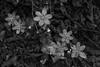 hepatica (enrico sprea) Tags: hepaticanobilis erbatrinità fiori sottobosco bosco foresta montagna versantedellamontagna cornidicanzo riservanaturalesassomalascarpa triangololariano lombardia italia sentiero trekking allaperto pentaxlife bwartaward biancoenero blackandwhite monocromo petali erba fioritura ombra pistilli cammino camminare ruscello fiorispontanei prealpi prealpilariane macro fiorellini gajum valle torrente umidità canzo asso valassina pianta fiore