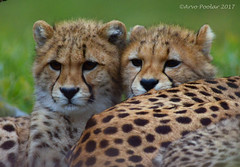 Cheetah Cubs (Arvo Poolar) Tags: wildlife outdoors scarborough ontariocanada nature natural naturallight nikond7000 cheetahcub torontozoo arvopoolar