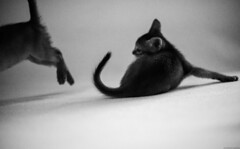 Kitten Left Behind (peter_hasselbom) Tags: cat cats kitten kittens abyssinian ruddy usual 8weeksold fight play playfight 2cats twocats 2kittens bw blackandwhite 50mm f14 grain