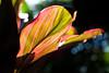 colors.. (paul.wienerroither) Tags: nature natureshots plant plants leaf colors colours light lights bokeh dof depthoffield photography canon 50mm 5dmk3 travel travelphotography bali indonesia focus beautiful
