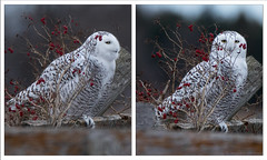 Snowy Owl ready for the Holidays Collage (NicoleW0000) Tags: owl collage redberries