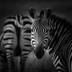 Head and Tail Zebra (Markp33) Tags: