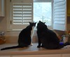 Idaho and Batman consider the day (rootcrop54) Tags: idaho batman tuxedo tuxedos male countertop window buddies friends mellow sweet neko macska kedi 猫 kočka kissa γάτα köttur kucing gatto 고양이 kaķis katė katt katze katzen kot кошка mačka gatos maček kitteh chat ネコ