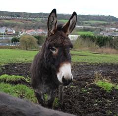 Donkey (Martellotower) Tags: donkey ears winter quarters bray hay