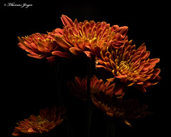 Brown Mum Group 1117 Copyrighted (Tjerger) Tags: nature beautiful beauty black blackbackground bloom blooming blooms brown bunch closeup fall flora floral flower flowers group macro mum plant portrait wisconsin yellow mums natural