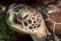 f2f (jnhPhoto) Tags: jnhphoto turtle sea seaturtle scuba scubadiving stlucia