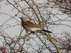 Fieldfare (Deanne Wildsmith) Tags: earthnaturelife staffordshire croxalllakes fieldfare thrush