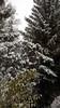 Snow-laden Branches (grinnin1110) Tags: reitbahnstrase9 de hessen flora babenhausen germany snow europe deutschland hesse