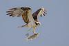 Food Truck (gseloff) Tags: osprey bird flight bif feeding fish stripedmullet fif nature wildlife armandbayou pasadena texas kayakphotography gseloff