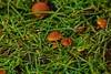 mushroom1 (KFPHOTOGRAPHIES) Tags: champignons herbe rosé boue
