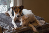 Dooley and Maddy (marylea) Tags: familiarity closeknit hug attachment feelings friendship dooley maddy dec2 2017 parsonrussellterrier parsonrussell dogs puppies jrt prt jackrussellterrier