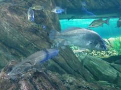 Looking #toronto #ripleysaquarium #aquarium #fish #paddlefish #latergram (randyfmcdonald) Tags: paddlefish fish ripleysaquarium latergram aquarium toronto