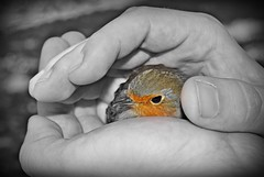 gehalten und geborgen (Uli He - Fotofee) Tags: ulrike ulrikehe uli ulihe ulrikehergert hergert nikon nikond90 fotofee vogel rotkehlchen hand hände geschützt gehalten geborgen