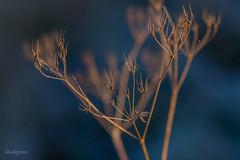 DSC_2020 (Birdiebirdbrain) Tags: nature naturephotography naturfoto natur plant plants winter frost rimfrost fredericia fredericiaramparts fredericiavold danmark denmark bokeh macro morninglight vinter nikon nikond3300 tokina tokina100mmf28
