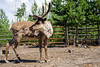 Reindeers (Polina K Petrenko) Tags: elk animal wild wildlife mammal rut bull park nature deer antler national outdoor horn forest hunting male natural hunt north big stag wilderness bugle buck meadow canada grand ungulate grass adult west