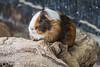 Cavia (maclapt0p) Tags: ouwehandsdierenpark rhenen animals netherlands nederland