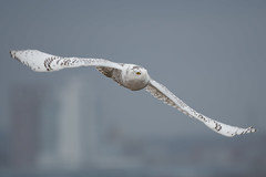 """Snowy Skyline"" (Snowy Owl) (Jesse_in_CT) Tags: snowyowl owl nikon200500mm"
