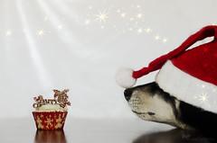 a christmas wish (sure2talk) Tags: achristmaswish taivas finnishlapphund cupcake santahat nikond7000 nikkor50mmf14gafs flash speedlight sb900 diffused offcamera softbox explore