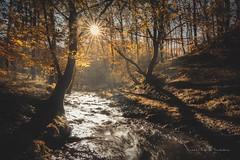 Finalizando el otoño (niripla) Tags: ucieda landscape paisaje bosque forest trees tree ruente cantabria spain yellow river río sun sol