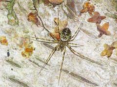Drapetisca socialis (Julian Hodgson) Tags: drapetiscasocialis arthropoda arachnida linyphiidae drapetisca spider birch betula holmefen nationalnaturereserve holme cambridgeshire sonydschx400v raynoxdcr150