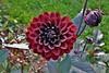 Flower (Hugo von Schreck) Tags: hugovonschreck dahlie flower blume blüte yourbestoftoday canoneos5dmarkiii tamronspaf2875mmf28xrdildasphericalifmacro