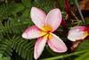 Frangipani (ronmcmanus1) Tags: jollyharbour stmarysparish antiguabarbuda antigua caribbean flowersplants