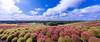 国営ひたち海浜公園 赤いコキア (丸子呆) Tags: 國營常陸海濱公園 日本 地膚子 掃帚草 国営ひたち海浜公園 コキア 赤い 天空 青い 茨城県 japan kochiascoparia