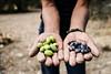 Olive harvesting (Mevout) Tags: palestine palestina oliva olive aceituna hands main mano farmer ganjero bras brazo arm permaculture permacultura sustainability sostenabilidad organic organico travel viaje mevout