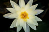 White & Yellow Water Lily 3-0 F LR 10-1-17 J072 (sunspotimages) Tags: lily waterlily lilies water nature flower flowers white whiteflower whiteflowers whitewaterlily whitewaterlilies yellowflowers yellowflower yellow yellowlily yellowwaterlilies