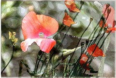 A host of poppies (PaulO Classic. ©) Tags: poppy poppies canon eos450d capetown picmonkey photoshop