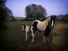 Day 319/365 2017-11-15 Mum and foal (Kirsten Osa) Tags: elstead england unitedkingdom gb horse foal animal field