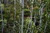 White stripes (Bl.Mtns.Grandma) Tags: gum tree trunks cataractfalls lawson