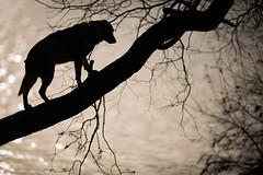46/52 Out on a Limb (JJFET) Tags: 46 52 weeks for dogs elk border collie tree climbing dog sheepdog littledoglaughedstories littledoglaughednoiret